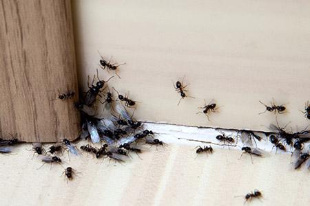 home ants elimination